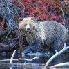 Grizzly Stroll 1000 Piece Jigsaw Puzzle