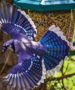 Blue Jay Speed